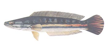 Giant Snakehead (Channa micropeltes).