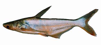 Striped Catfish (Pangasius hypophthalmus).