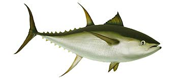 Yellowfin Tuna (Thunnus albacares).