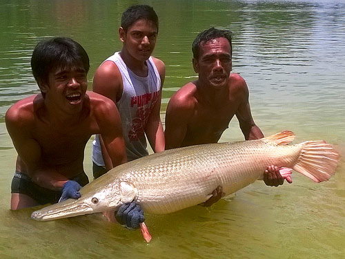 Alligator Gar Phangnga.