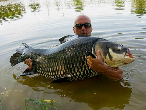 Giant Siamese Carp at Twin Palm Lagoon