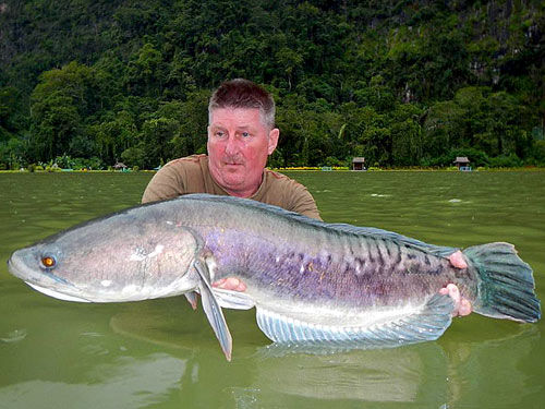 Giant Snakehead Jungle Fishing.