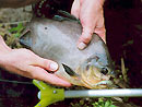 Red Bellied Pacu on fly in Phuket.