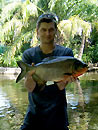 Red Bellied Pacu from Phuket.