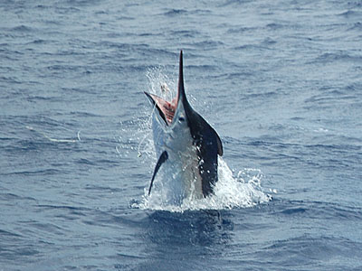 Black Marlin at the Similan Islands - Thailand.